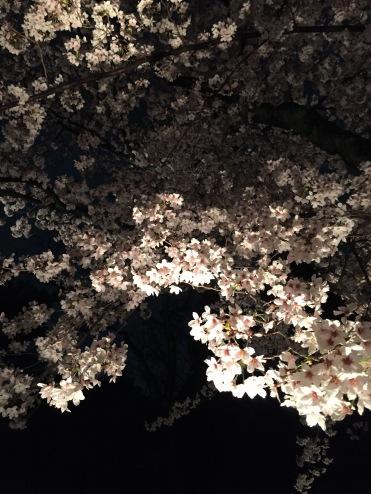 二条城夜櫻